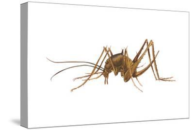 Cave Cricket (Ceuthophilus Uhleri), Insects-Encyclopaedia Britannica-Stretched Canvas Print