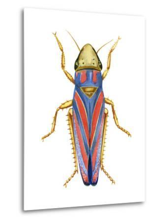 Red-Banded Leafhopper (Graphocephala Coccinea), Insects-Encyclopaedia Britannica-Metal Print