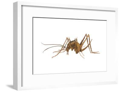 Cave Cricket (Ceuthophilus Uhleri), Insects-Encyclopaedia Britannica-Framed Art Print