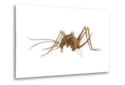 Cave Cricket (Ceuthophilus Uhleri), Insects-Encyclopaedia Britannica-Metal Print