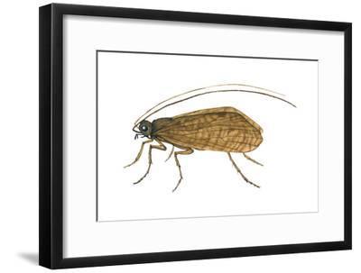 Caddis Fly (Ptilostomis Semifasciata), Insects-Encyclopaedia Britannica-Framed Art Print