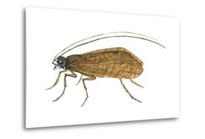 Caddis Fly (Ptilostomis Semifasciata), Insects-Encyclopaedia Britannica-Metal Print