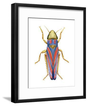 Red-Banded Leafhopper (Graphocephala Coccinea), Insects-Encyclopaedia Britannica-Framed Art Print