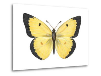 Common Sulphur Butterfly (Colias Philodice), Insects-Encyclopaedia Britannica-Metal Print