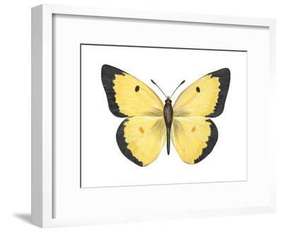 Common Sulphur Butterfly (Colias Philodice), Insects-Encyclopaedia Britannica-Framed Art Print