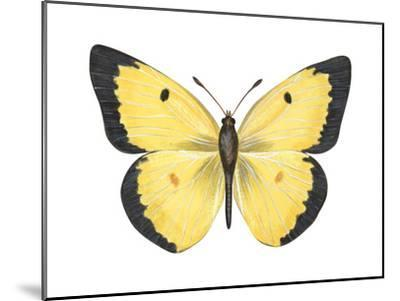 Common Sulphur Butterfly (Colias Philodice), Insects-Encyclopaedia Britannica-Mounted Art Print