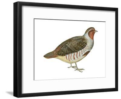 Hungarian Partridge (Perdix Perdix), Birds Art Print by Encyclopaedia  Britannica | Art com
