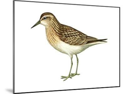 Least Sandpiper (Calidris Minutilla), Birds-Encyclopaedia Britannica-Mounted Art Print
