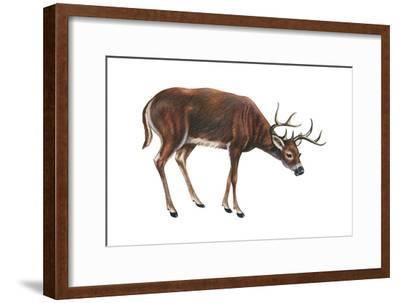 White-Tailed Deer (Odocoileus Virginianus), Mammals-Encyclopaedia Britannica-Framed Art Print