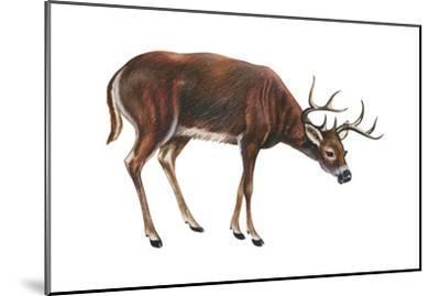 White-Tailed Deer (Odocoileus Virginianus), Mammals-Encyclopaedia Britannica-Mounted Art Print