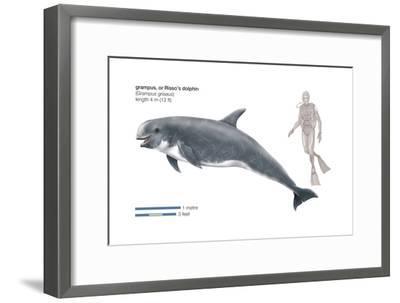 Risso's Dolphin or Grampus (Grampus Griseus), Mammals-Encyclopaedia Britannica-Framed Art Print