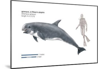 Risso's Dolphin or Grampus (Grampus Griseus), Mammals-Encyclopaedia Britannica-Mounted Art Print