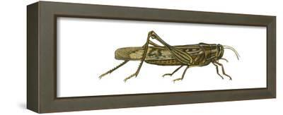 American Grasshopper (Schistocerca Americana), Insects-Encyclopaedia Britannica-Framed Stretched Canvas Print