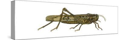 American Grasshopper (Schistocerca Americana), Insects-Encyclopaedia Britannica-Stretched Canvas Print