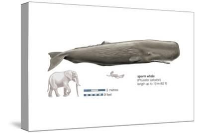 Sperm Whale (Physeter Catodon), Mammals-Encyclopaedia Britannica-Stretched Canvas Print
