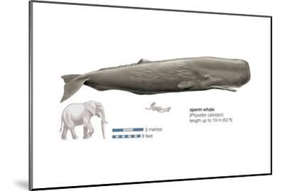 Sperm Whale (Physeter Catodon), Mammals-Encyclopaedia Britannica-Mounted Art Print