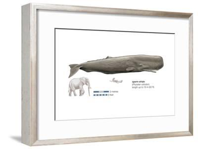 Sperm Whale (Physeter Catodon), Mammals-Encyclopaedia Britannica-Framed Art Print