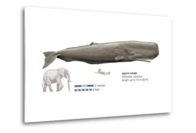 Sperm Whale (Physeter Catodon), Mammals-Encyclopaedia Britannica-Metal Print