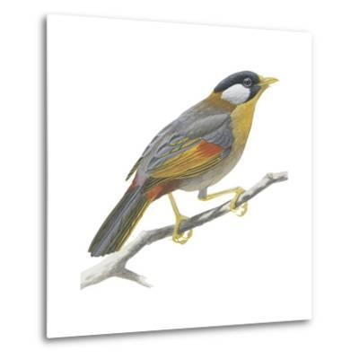 Silver-Eared Mesia (Leiothrix Argentauris), Birds-Encyclopaedia Britannica-Metal Print