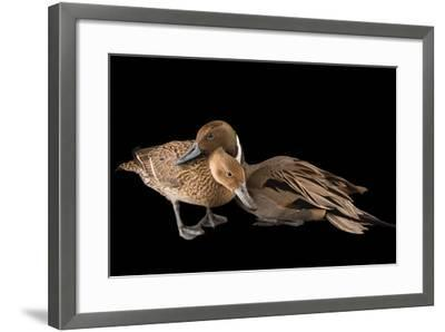 A Male and Female Northern Pintail Duck, Anas Acuta, at the Sylvan Heights Bird Park-Joel Sartore-Framed Photographic Print