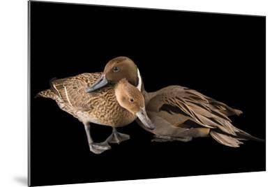 A Male and Female Northern Pintail Duck, Anas Acuta, at the Sylvan Heights Bird Park-Joel Sartore-Mounted Photographic Print