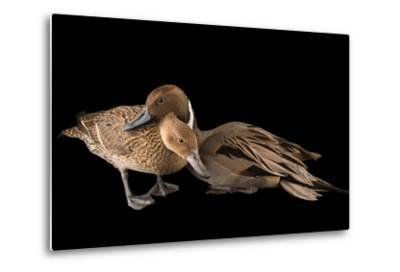 A Male and Female Northern Pintail Duck, Anas Acuta, at the Sylvan Heights Bird Park-Joel Sartore-Metal Print