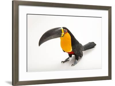 A Vulnerable Aerial Toucan, Ramphastos Vitelinus Ariel, at the Dallas World Aquarium-Joel Sartore-Framed Photographic Print