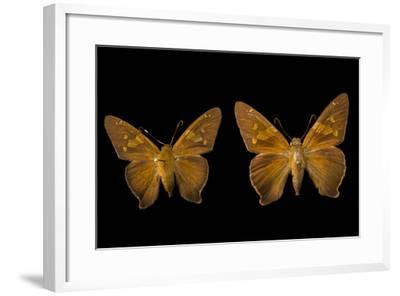 Two Zesto's Skippers on Pins at the Mcguire Center for Lepidoptera and Biodiversity-Joel Sartore-Framed Photographic Print