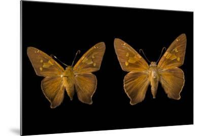Two Zesto's Skippers on Pins at the Mcguire Center for Lepidoptera and Biodiversity-Joel Sartore-Mounted Photographic Print
