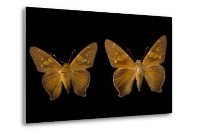Two Zesto's Skippers on Pins at the Mcguire Center for Lepidoptera and Biodiversity-Joel Sartore-Metal Print