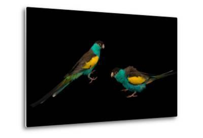 Two Hooded Parakeets, Psephotus Dissimilis, at Sylvan Heights Bird Park-Joel Sartore-Metal Print