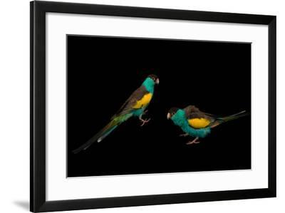 Two Hooded Parakeets, Psephotus Dissimilis, at Sylvan Heights Bird Park-Joel Sartore-Framed Photographic Print