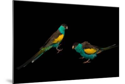 Two Hooded Parakeets, Psephotus Dissimilis, at Sylvan Heights Bird Park-Joel Sartore-Mounted Photographic Print