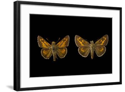 Two Extinct Rockland Skippers, Hesperia Meskei Pinocayo, Mounted on Pins-Joel Sartore-Framed Photographic Print