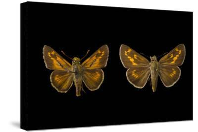 Two Extinct Rockland Skippers, Hesperia Meskei Pinocayo, Mounted on Pins-Joel Sartore-Stretched Canvas Print