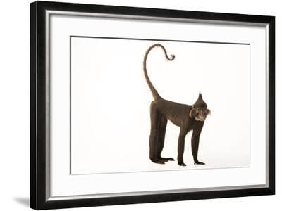 A Black Crested Mangabey, Lophocebus Aterrimus, at the Chattanooga Zoo-Joel Sartore-Framed Photographic Print