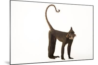 A Black Crested Mangabey, Lophocebus Aterrimus, at the Chattanooga Zoo-Joel Sartore-Mounted Photographic Print