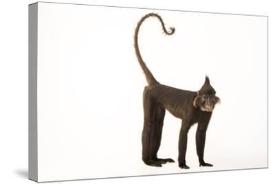 A Black Crested Mangabey, Lophocebus Aterrimus, at the Chattanooga Zoo-Joel Sartore-Stretched Canvas Print