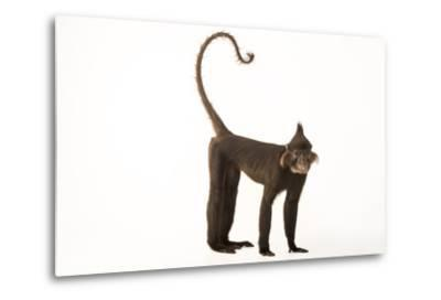A Black Crested Mangabey, Lophocebus Aterrimus, at the Chattanooga Zoo-Joel Sartore-Metal Print