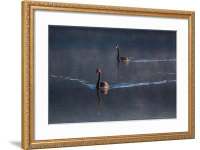 A Pair of Black Swan, Cygnus Atratus, on a Misty Lake in Brazil's Ibirapuera Park-Alex Saberi-Framed Photographic Print