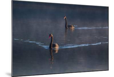 A Pair of Black Swan, Cygnus Atratus, on a Misty Lake in Brazil's Ibirapuera Park-Alex Saberi-Mounted Photographic Print