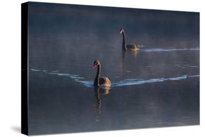 A Pair of Black Swan, Cygnus Atratus, on a Misty Lake in Brazil's Ibirapuera Park-Alex Saberi-Stretched Canvas Print