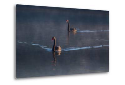 A Pair of Black Swan, Cygnus Atratus, on a Misty Lake in Brazil's Ibirapuera Park-Alex Saberi-Metal Print