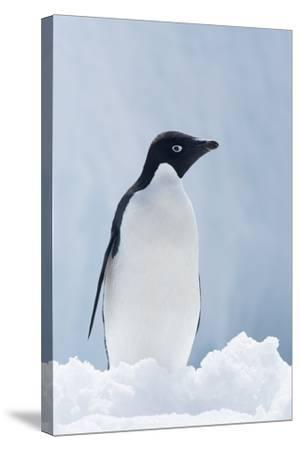 An Adelie Penguin, Pygoscelis Adeliae, Standing on Sea Ice in Antarctic Sound-Jeff Mauritzen-Stretched Canvas Print