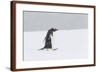 A Lone Gentoo Penguin, Pygoscelis Papua, Walks Alone in the Snow, Antarctica-Jeff Mauritzen-Framed Photographic Print