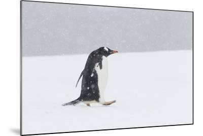 A Lone Gentoo Penguin, Pygoscelis Papua, Walks Alone in the Snow, Antarctica-Jeff Mauritzen-Mounted Photographic Print