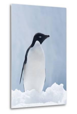 An Adelie Penguin, Pygoscelis Adeliae, Standing on Sea Ice in Antarctic Sound-Jeff Mauritzen-Metal Print
