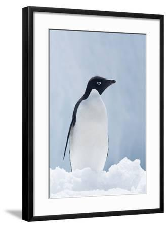 An Adelie Penguin, Pygoscelis Adeliae, Standing on Sea Ice in Antarctic Sound-Jeff Mauritzen-Framed Photographic Print