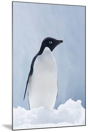 An Adelie Penguin, Pygoscelis Adeliae, Standing on Sea Ice in Antarctic Sound-Jeff Mauritzen-Mounted Photographic Print