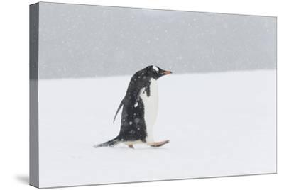 A Lone Gentoo Penguin, Pygoscelis Papua, Walks Alone in the Snow, Antarctica-Jeff Mauritzen-Stretched Canvas Print